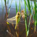 CPIE Seignanx et Adour : libellule